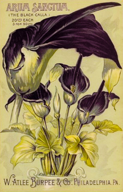 Arum Sangtum (The Black Calla)
